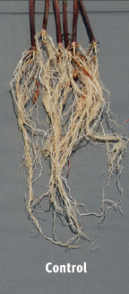 Roots of untreated seeds.