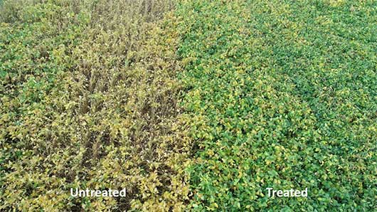 Comparison plot fungicide treated vs. untreated soybeans.