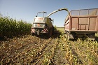 Chop Length and Kernel Processing Raise Corn Silage Value