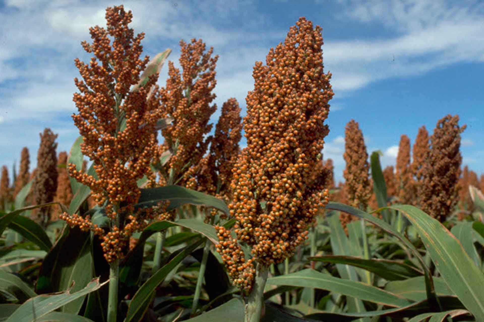 Sorghum best management practices.