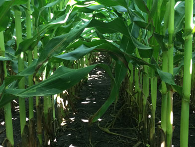 Corn field low canopy