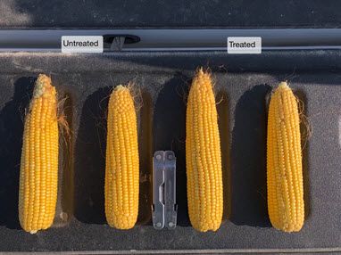 Photo comparing corn ears treated and not treated with fungicide.