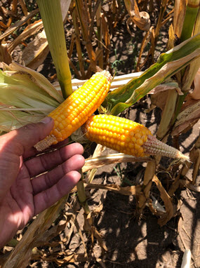 Photo of corn ears grown under drought stress.