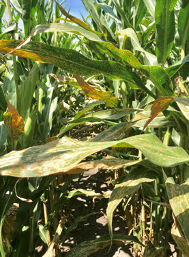 Photo of corn plants affected by Gray Leaf Spot.
