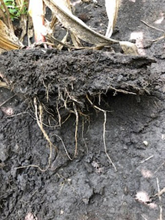Corn root with a compaction layer 2 to 3 inches deep.