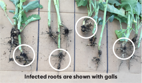 canola hybrids in the photo have no resistance to variants of clubroot races 2 and 3