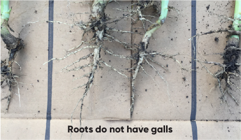 Clubroot Susceptible