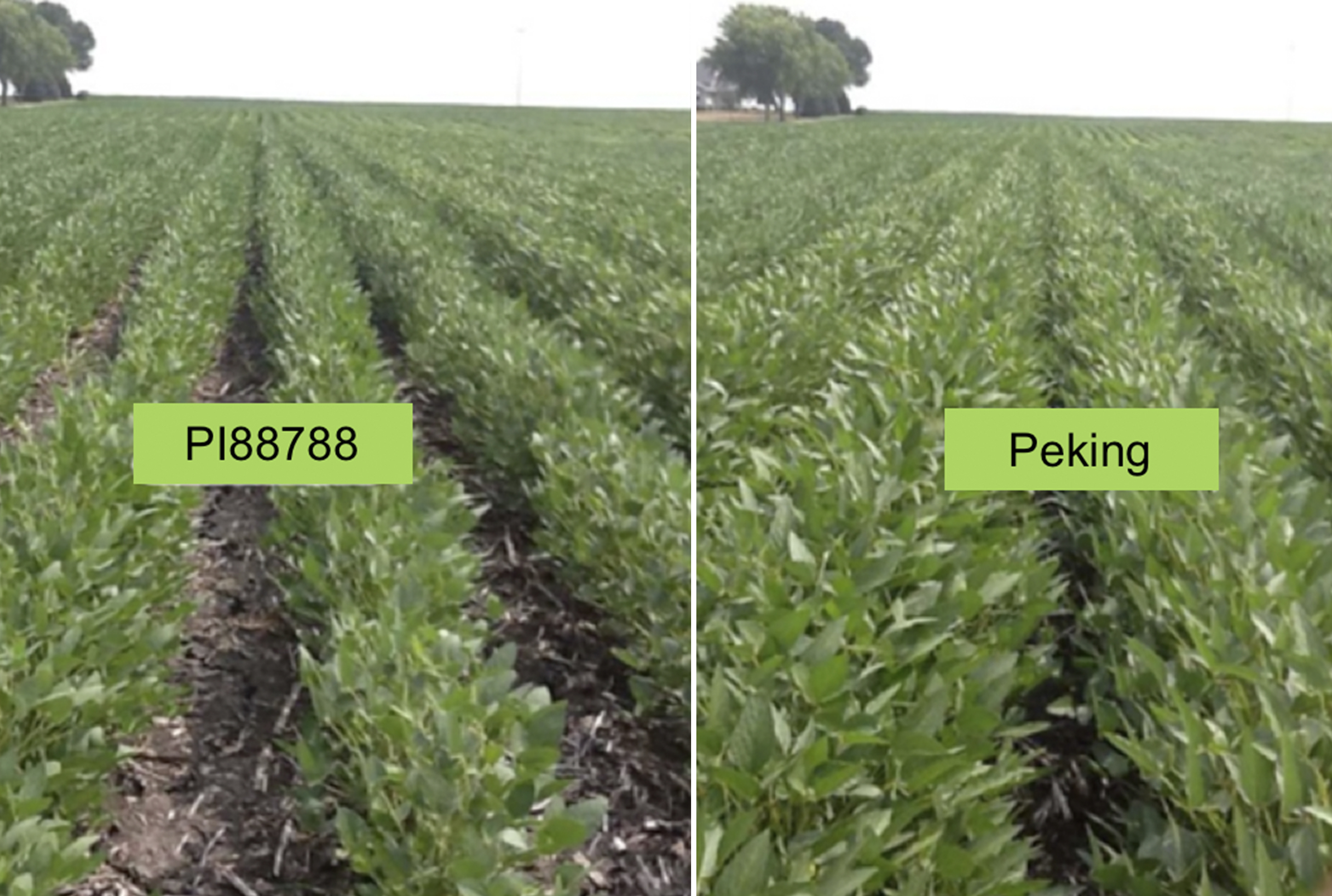 comparison image of PI88788 and Peking