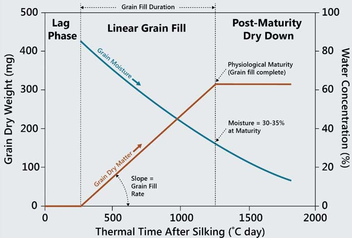 Table - Bi-linear model of corn grain fill showing changes in grain dry matter and grain moisture by thermal time.