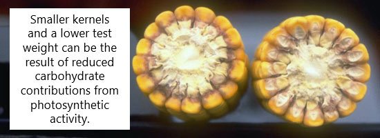 This is a photo showing severe sunflower field infection from Phomopsis helianthi.