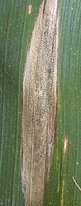 Photo - Close up of Northern corn leaf blight lesion.