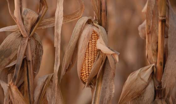 This is a closeup photo showing corn stalks and ears close to harvest.