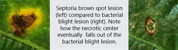 Photo - Septoria brown spot lesion compared to bacterial blight lesion.