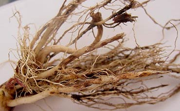 Photo - Cankers in soybean roots due to rhizoctonia root rot.