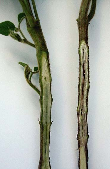 Photo - Phytophthora infected soybean on right, compared to a healthy soybean on the left.
