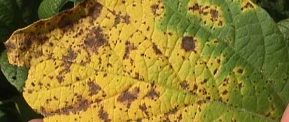 Photo - Septoria brown spot on soybean leaf.