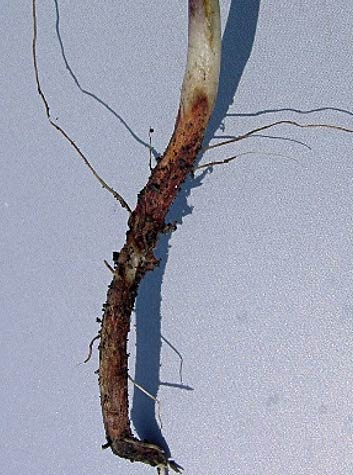Photo - Red discoloration at soil line from soybean due to Rhizoctonia solani.