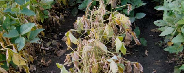 Photo - Soybean plants wilted due to Phytophthora rot.