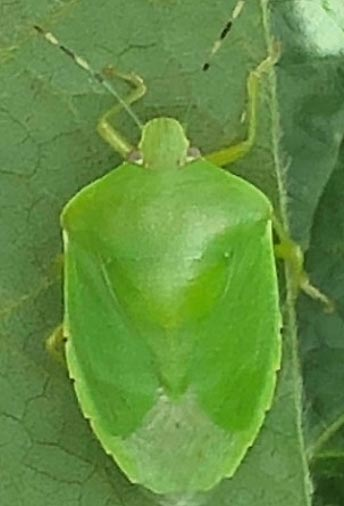 Photo of a green stink bug adult.