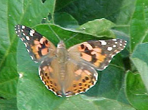 Photo - Painted lady butterfly displaying forewings and hindwings.