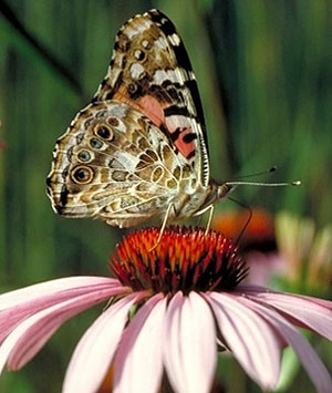 Photo - Painted lady butterfly displaying wing underside.