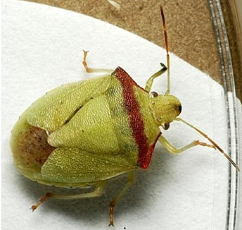 Photo of a red-shouldered stink bug adult.