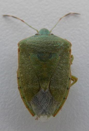 Photo of a southern green stink bug adult.