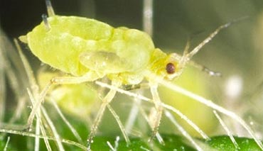 Photo - Close up of soybean aphid.