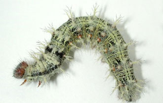 Photo - Lighter colored thistle caterpillar.