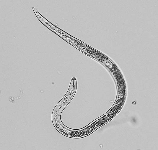 Black and white photo of a lesion nematode.