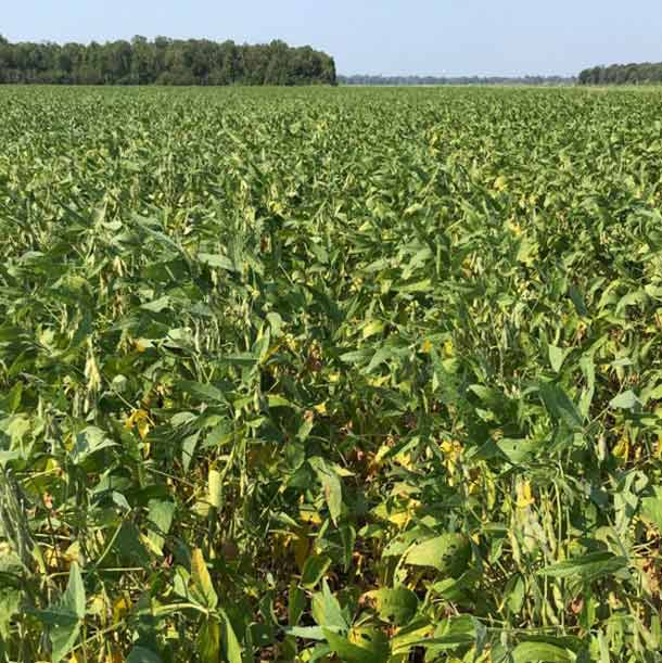 Photo - yellowing leaves on soybean plants.