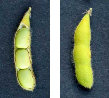 Photo - Soybeans at growth stage R6.5 - Mid-way from full seed to maturity.