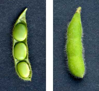 Photo - Soybeans at growth stage R6 - full seed stage.