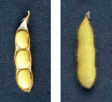 Photo - Soybeans at growth stage R7 - Beginnning maturity.