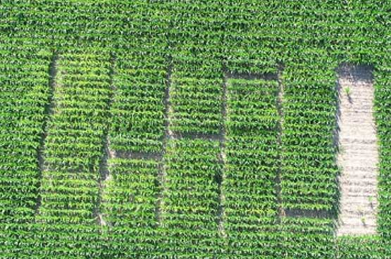 Arial Photo -  Hybrid plot within a high pH area of the field.