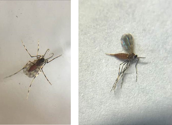 Side-by-side photos showing gall midge adults.
