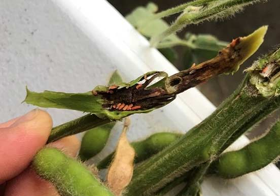 This is a photo showing gall midge larvae feeding in soybean stems (Iowa field).