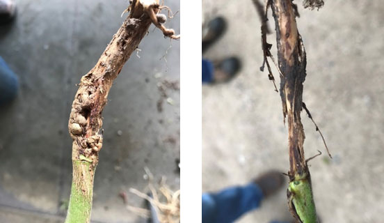 Side-by-side photos showing galls on a soybean stem due to gall midge infestation and stem girdling from prolonged feeding.