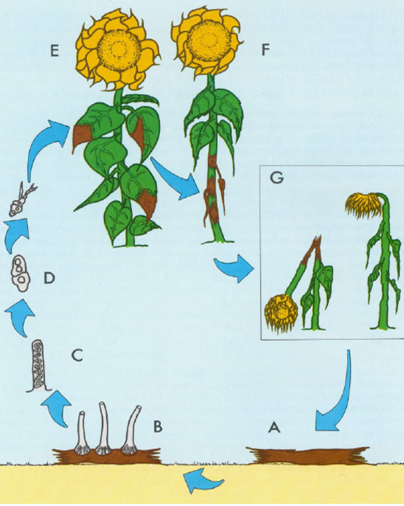 This is an illustration showing the life cycle of Phomopsis helianthi in sunflowers.