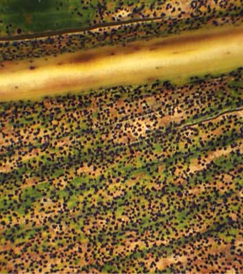 Photo - Corn leaf under magnification showing dense coverage with tar spot ascomata.