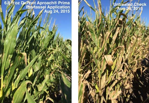 Photo -  Field trial comparing fungicide-treated and non-treated corn at a location with high northern corn leaf blight pressure.