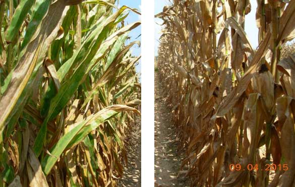 Photo - corn treated with fungicide at VT-R1 compared to non-treated corn at a research location near Winchester, AR in 2015.