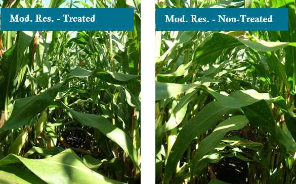 Photo - Two moderately resistant hybrids treated and non-treated with fungicide at Macomb, IL.