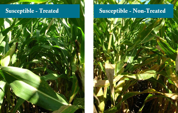 Photo - Two susceptible hybrids treated and non-treated with fungicide at Macomb, IL.