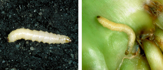 Photo -Corn rootworm larvae.