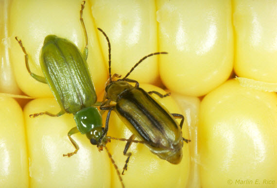Photo - Northern (left) and western (right) corn rootworm beetles.