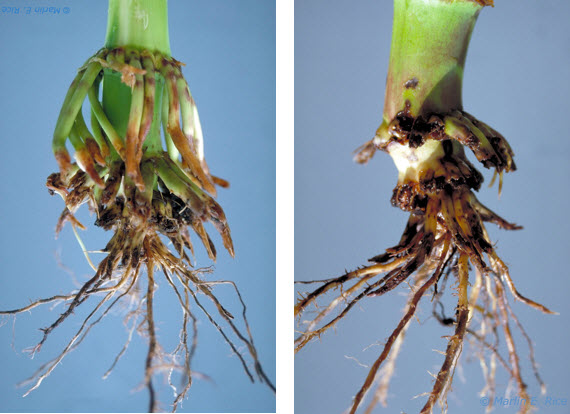 Photo - Severe corn rootworm feeding damage.