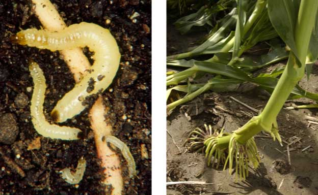 Photo - Corn rootworm larvae feeding on corn roots and lodging caused by root damage.