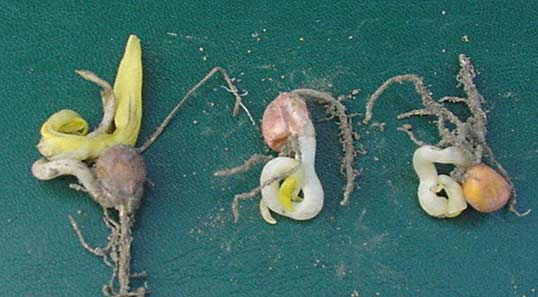 Photo - Corn seedlings showing symptoms of cold injury.