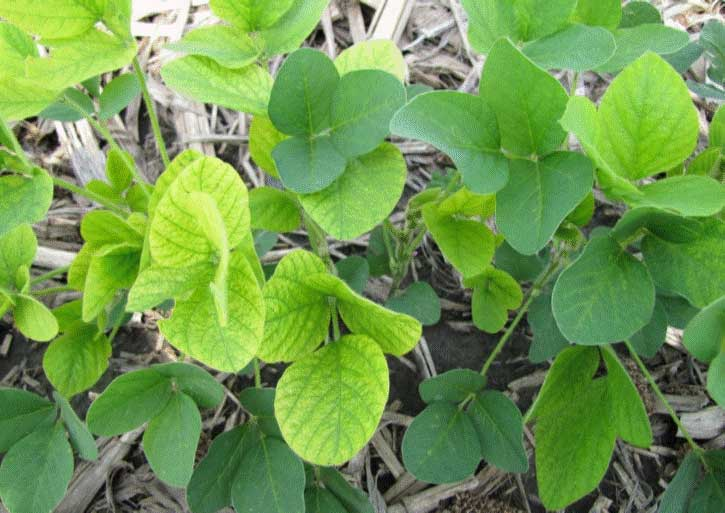 Photo - Closeup - Interveinal chlorosis pattern characteristic of iron chlorosis of soybeans.